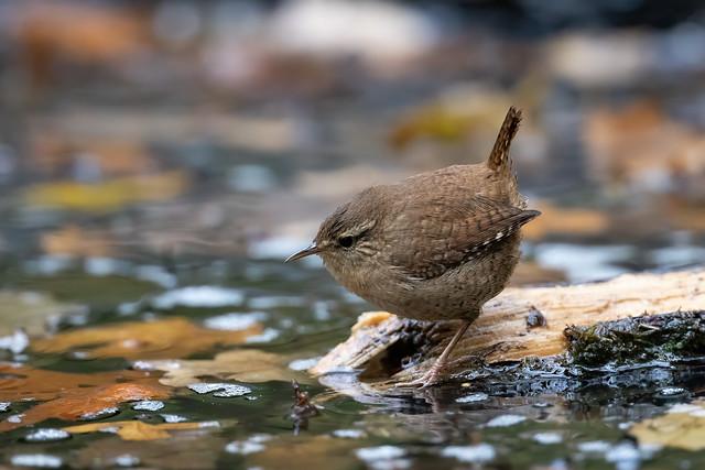 Wren on the pond