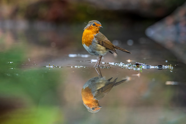 european robin / Rotkelchen
