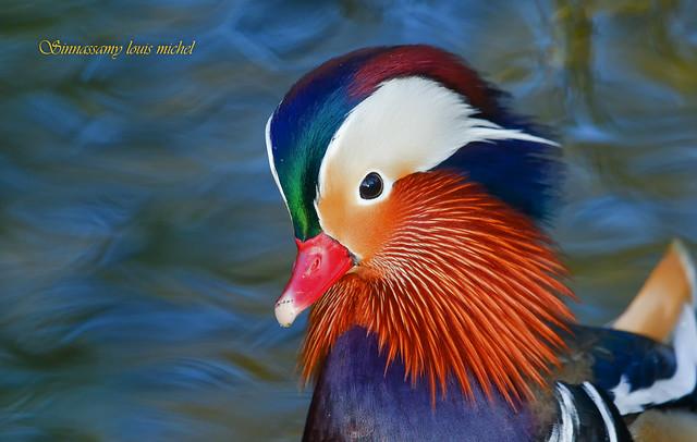 ♂ Mandarin duck / ♂ Canard mandarin