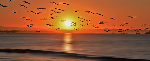 birds beach beachfront blackskimmers bay california color shore sky sunrise sihlouette rynchopsniger flight r