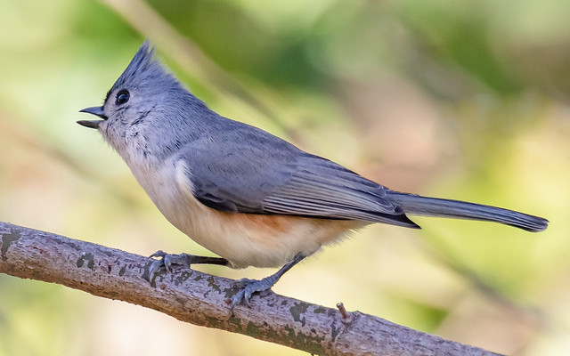 Very Animated Titmouse