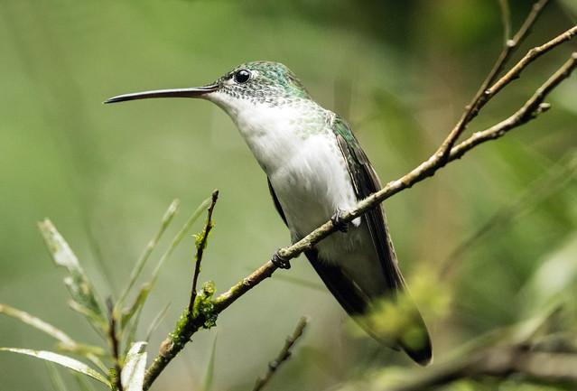 015A4583 Andean Emerald