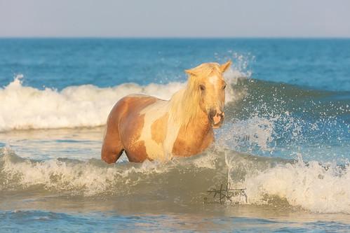 wildhorse horse ocean sea summer blue waves beach maryland surf sunset evening