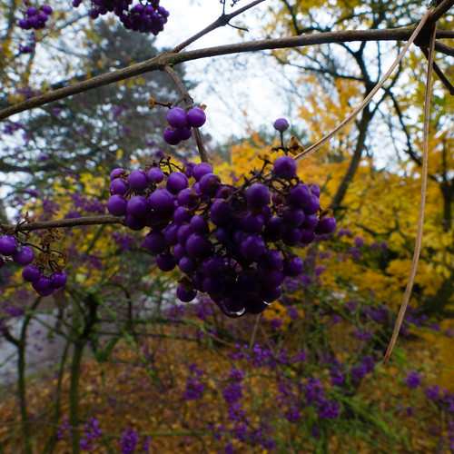 Purple, yellows: beautyberries and autumn leaves