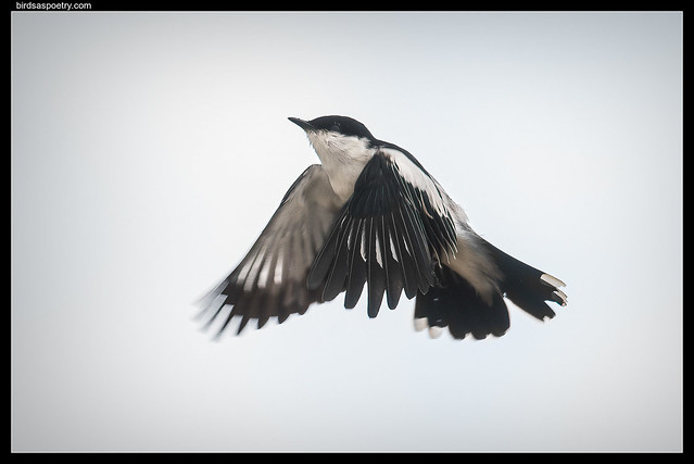 White-winged Triller: Hovering
