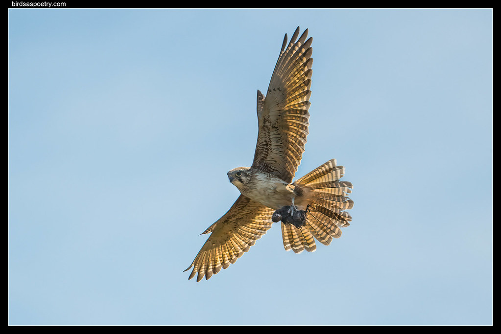 Brown Falcon: Feeding the Family