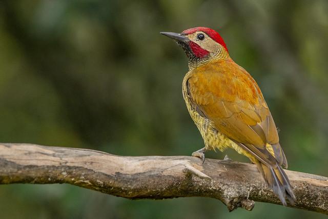 Colaptes rubiginosus (Golden-olive woodpecker / Carpintero verdidorado)