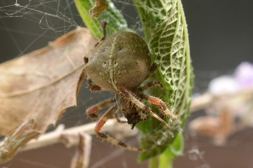 Bottlecap-size Araneus spider in its retreat