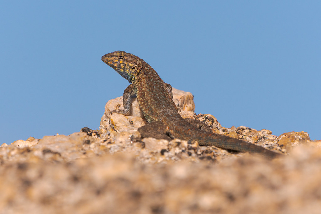 A male common side-blotched lizard perches atop a rock on an Off-map Trail in the Pima Dynamite section of McDowell Sonoran Preserve in Scottsdale, Arizona in June 2019