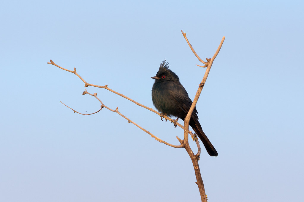 A male phainopepla perches in a tree on the Latigo Trail in McDowell Sonoran Preserve in Scottsdale, Arizona in October 2019