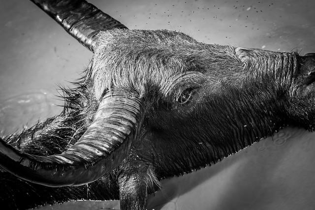Wasserbüffel / Water buffalo