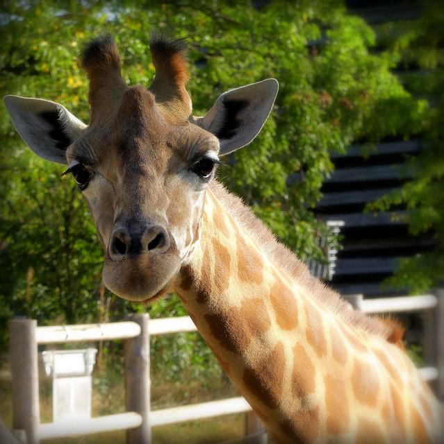 Girafe du Kordofan