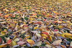 Leaves Autumn 2