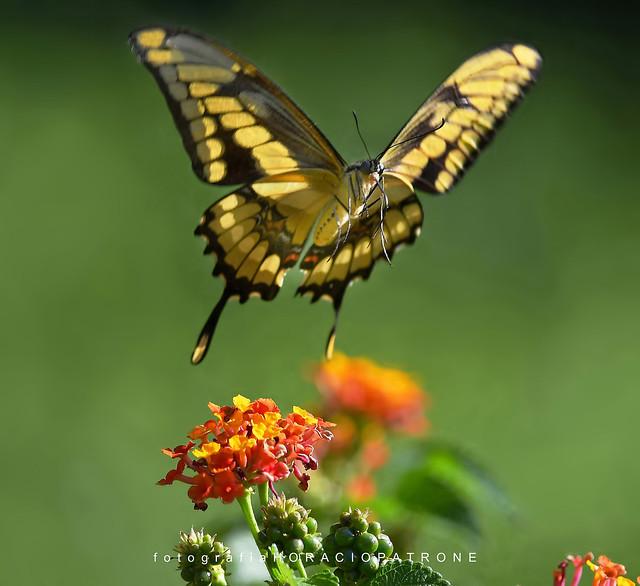 - MARIPOSA LIMONERA EN VUELO..(Papilio thoas- thoasswallowtail  ) toma en BOTANICO THAYS! - Argentina