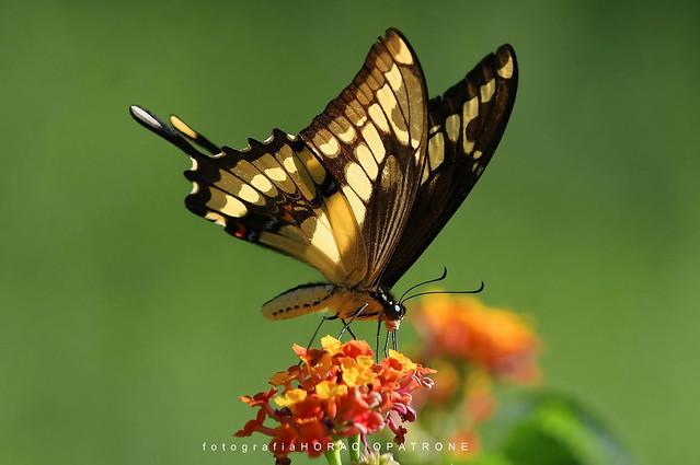- CONTRALUZ MARIPOSA LIMONERA (Papilio thoas- thoasswallowtail  ) toma en BOTANICO THAYS! - Argentina