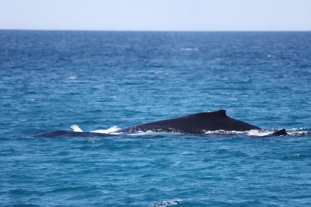 遨遊澳洲海域的大翅鯨母子。圖片提供:Maja Nimak-Wood