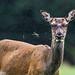 "<p><a href=""https://www.flickr.com/people/manuelromaris/"">Manuel ROMARIS</a> posted a photo:</p>  <p><a href=""https://www.flickr.com/photos/manuelromaris/49093867686/"" title=""Red Deer, Killarney National Park, Ireland""><img src=""https://live.staticflickr.com/65535/49093867686_0d1984cd42_m.jpg"" width=""240"" height=""160"" alt=""Red Deer, Killarney National Park, Ireland"" /></a></p>"