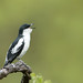White-winged Triller (Lalage tricolor)