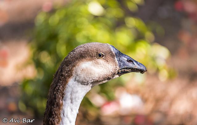 goose enjoying the hot sun