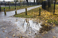 Tree puddle reflection