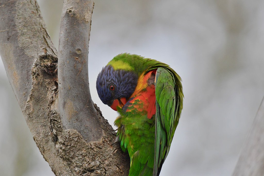 Rainbow Lorikeet ( oh! that itch )
