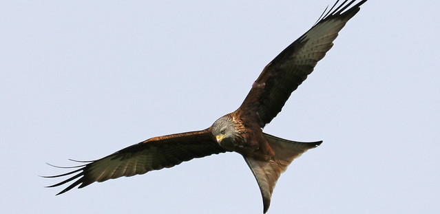 Red Kite On The Prowl