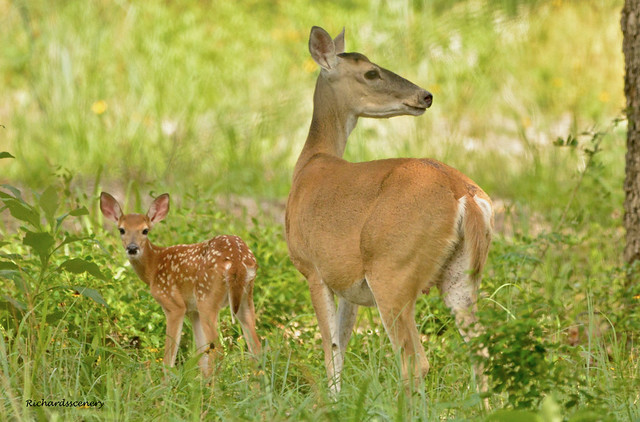 fawn and mamma deer