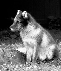 Arctic Fox - Iceland Late Summer - B&W