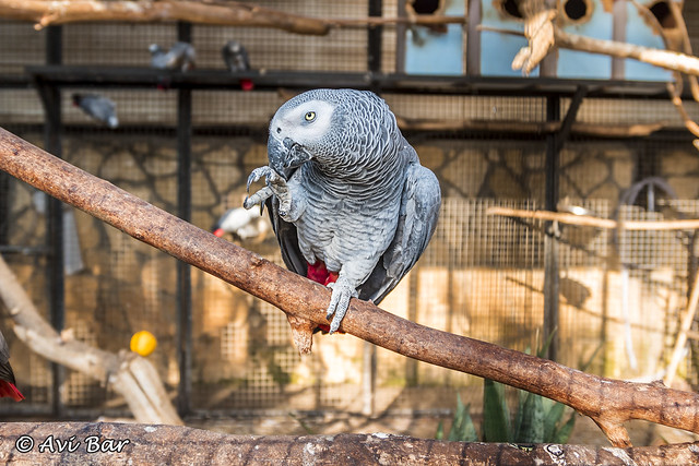 Jako the Parrot