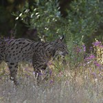 Iberian Lynx juvenil male