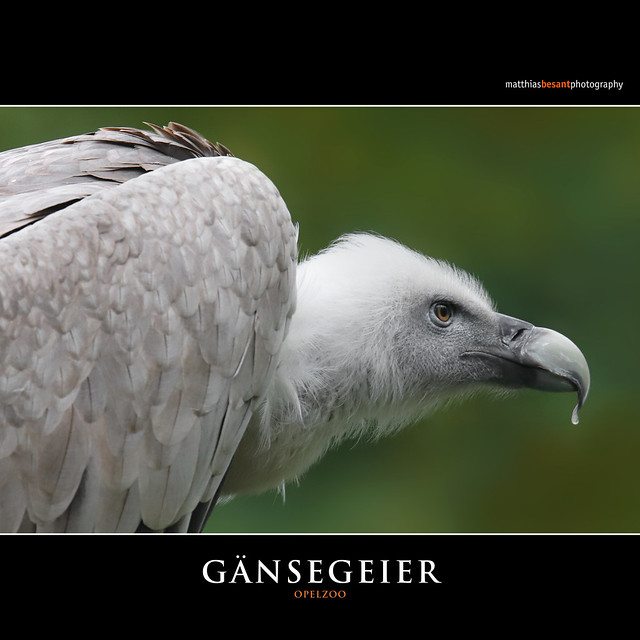 GÄNSEGEIER