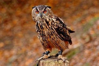 Errol | Northern Eagle Owl