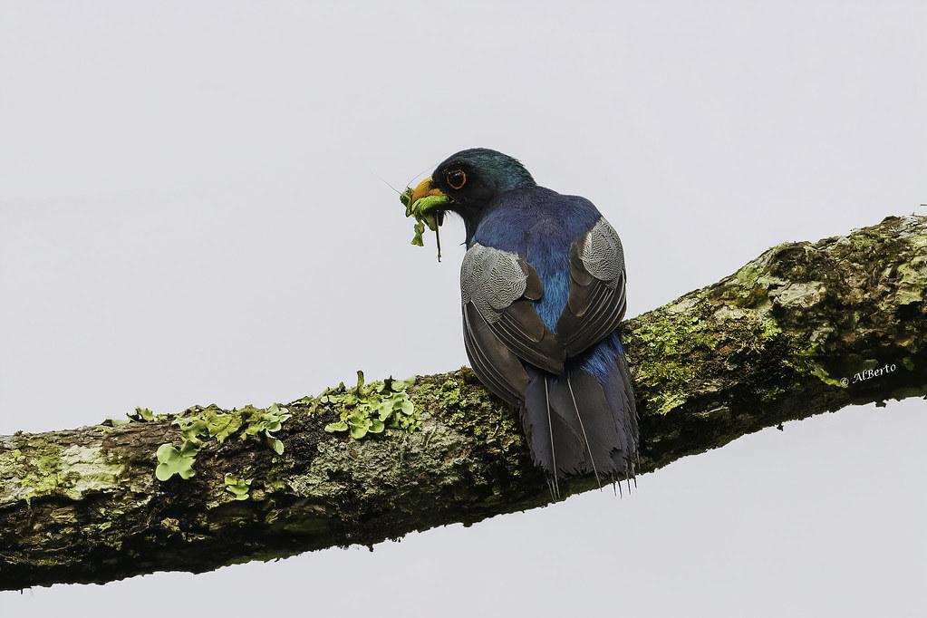Black-tailed Trogon / Trogon à queue noire