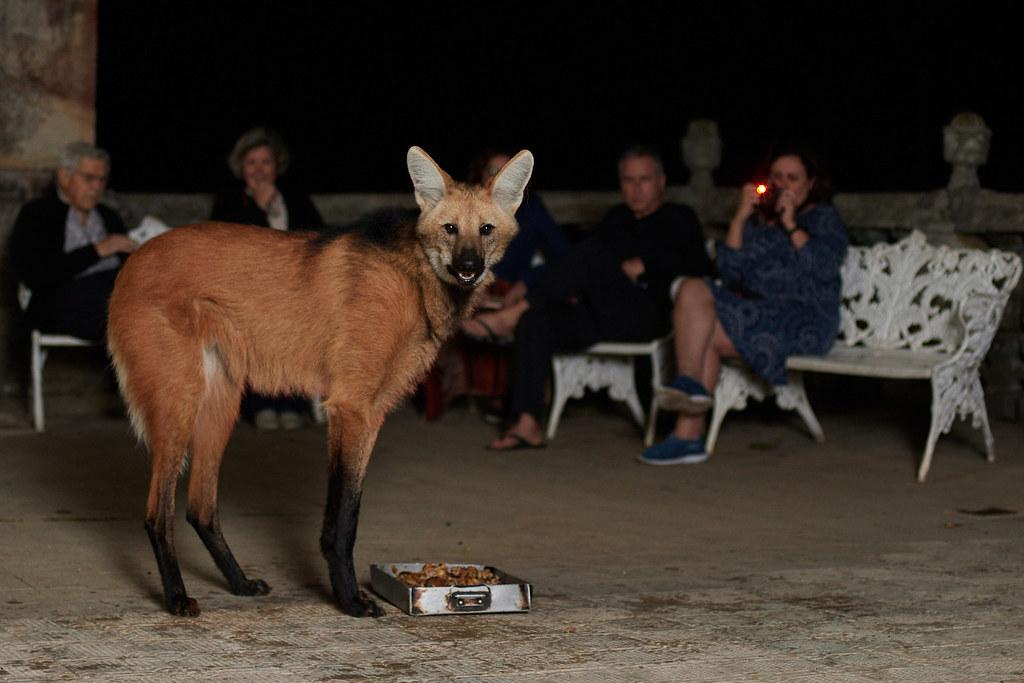 Maned wolf (Chrysocyon brachyurus)