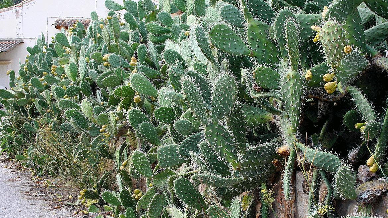 Vegetación cactus de las Hoces del Cabriel