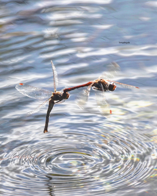 Dragonfly in the air by making love. Photo taken in Krka Nationalpark, Croatia