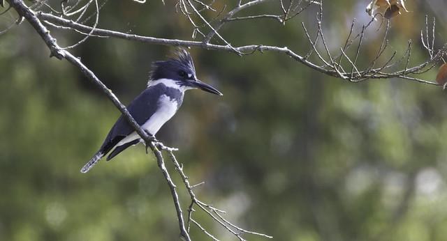 Belted Kingfisher on Lake Caroline. RRNWR in Bossier City Louisiana