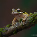 New Granada Cross-banded Tree Frog Hangs On An Epiphyte Covered Branch
