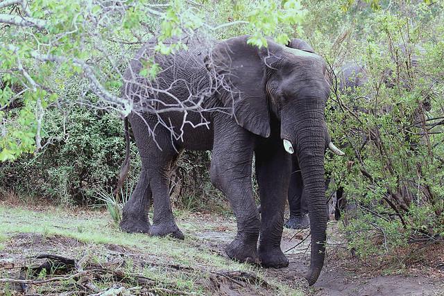 064 African Bush Elephant (Loxodonta africana), Zambezi River, near Victoria Falls, Zimbabwe