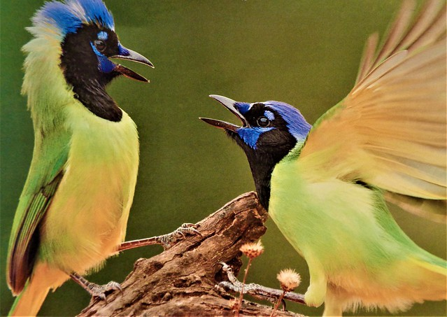 TROPICAL GREEN JAYS