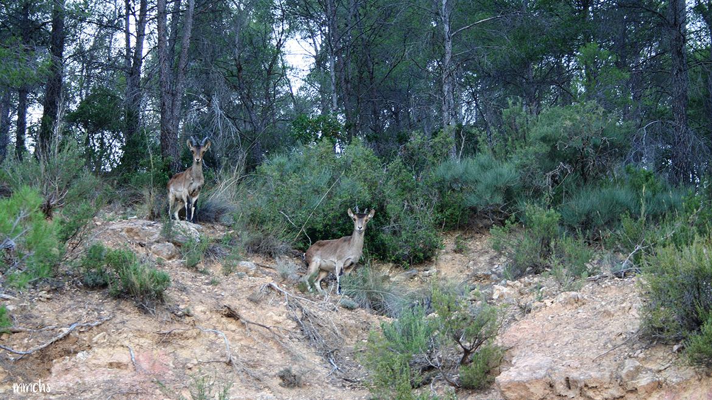 Parque Natural de las Hoces del Cabriel corzos en libertad