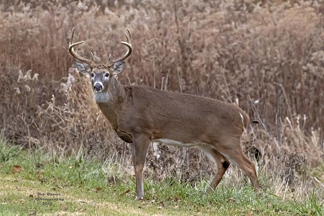 8 Point White-tailed Buck Deer.