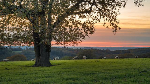 un arbre et des brebis au coucher du soleil en automne