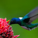 Male White-necked Jacobin Feeds On The Nectar Of A Torch Ginger Blossom
