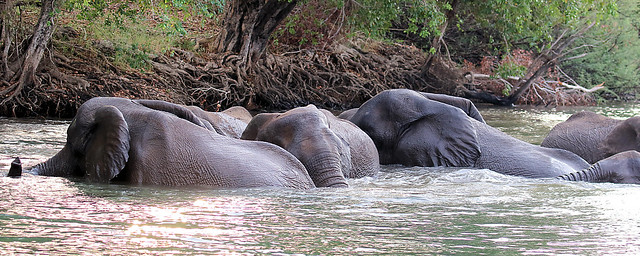 067 African Bush Elephants (Loxodonta africana), Zambezi River, near Victoria Falls, Zimbabwe