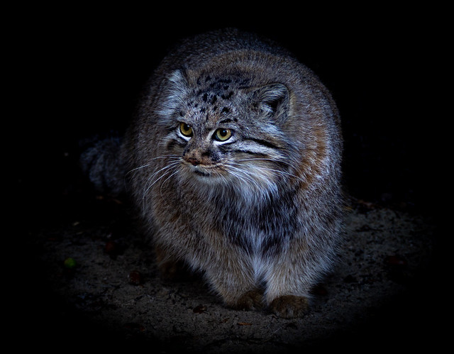 Pallas's Cat called Jethro also known as a manul.  Taken at The Big Sanctuary