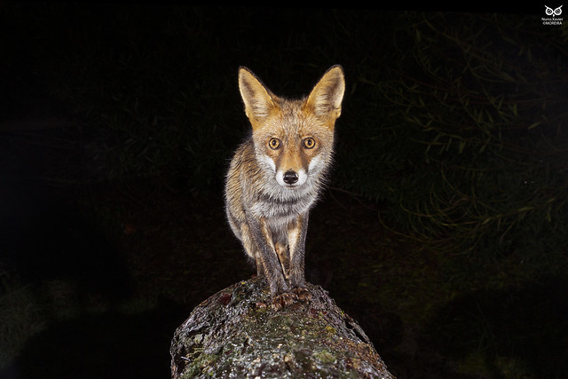 Raposa, Red Fox (Vulpes vulpes)