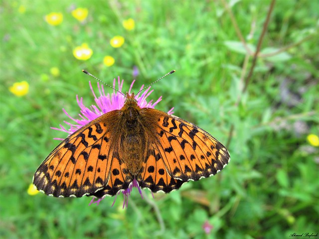 Butterfly 1891
