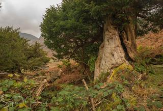 The Fraternal FourBorrowdale Yews Seathwaite