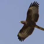 Honey Buzzard juv
